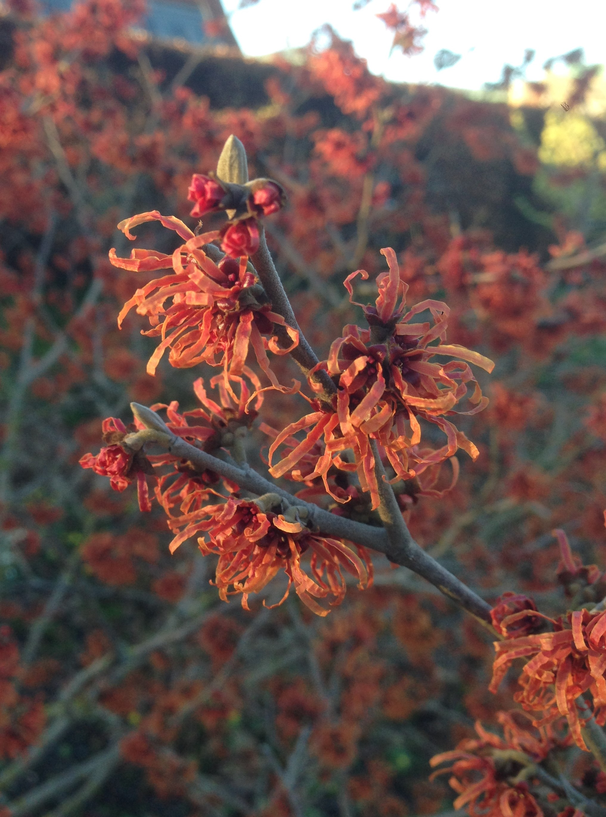 Details of red flowers on a witch hazel branch.